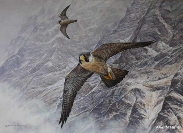 Peregrine Limited Edition Wildlife Prints by Alan M Hunt