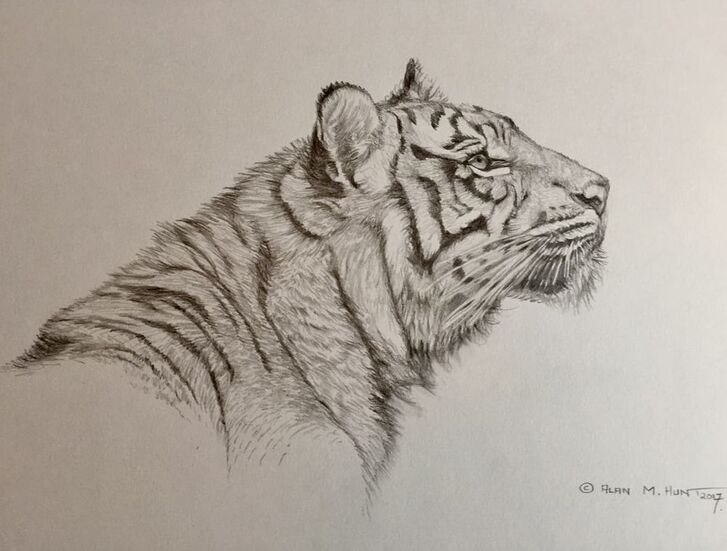 Tiger Big Cat Sketches No.1 in UK