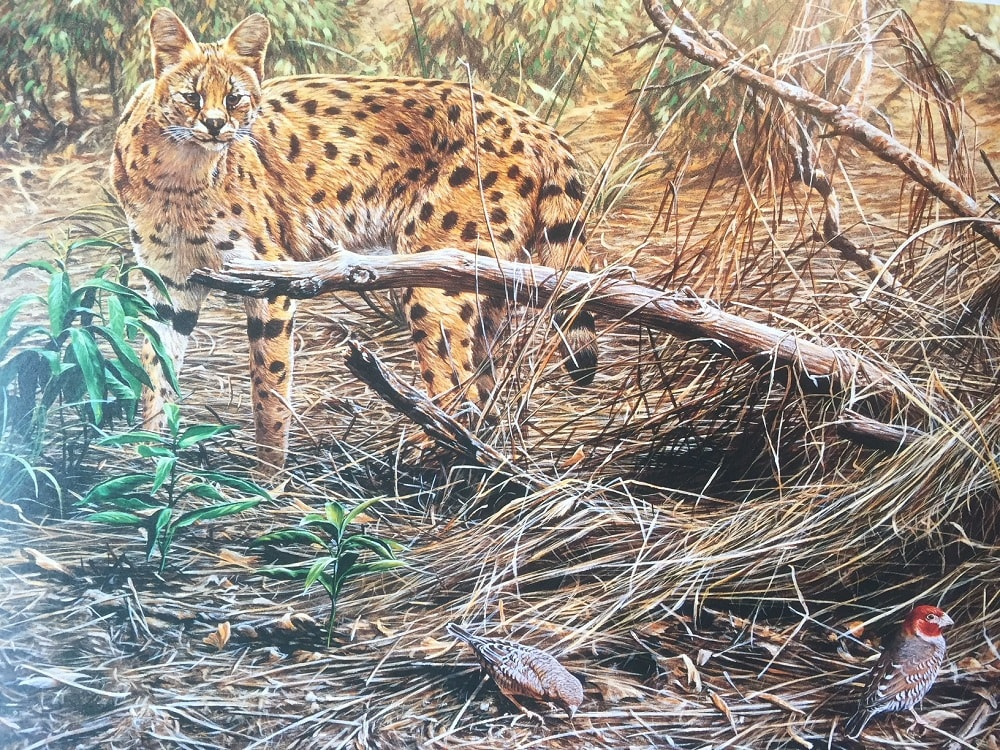 Picture of a Serval Hunting